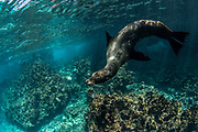 Galapagos Sealion (Zalophus wollebaeki)<br /> Devil's Crown GALAPAGOS ISLANDS<br /> Pacific Ocean<br /> ECUADOR.  South America