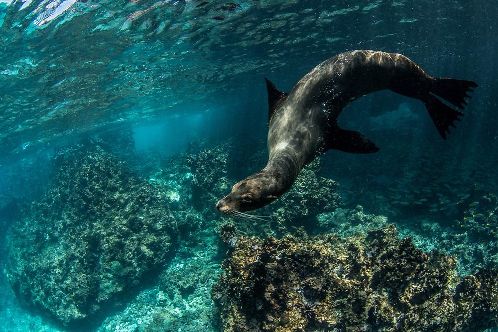 Galapagos Sealion (Zalophus wollebaeki)<br /> Devil's Crown GALAPAGOS ISLANDS<br /> Pacific Ocean<br /> ECUADOR.  South America