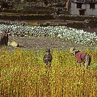 Sherpa women and a child work in their field in Namche Bazaar.