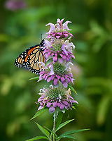 Monarch Butterfly. Image taken with a Nikon D5 camera and 80-400 mm VR lens