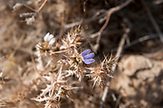 Thorny blue flowering desert plant photographed in Hoanib riverbed, Namibia