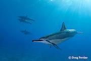 Hawaiian spinner dolphin or long-snouted spinner dolphin, or Gray's spinner dolphins, Stenella longirostris longirostris, Hookena, Kona, Hawaii ( the Big Island ) Central Pacific Ocean
