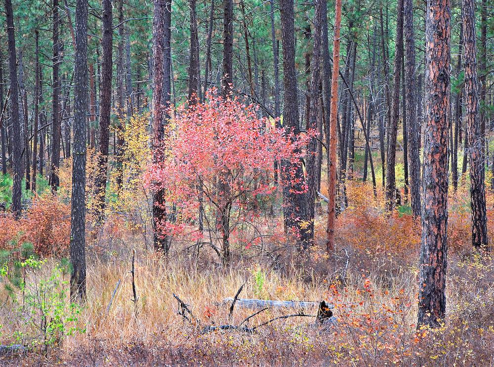 single red autumn tree in ponderosa pine forest, Spokane, WA.