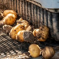 05.08.2019; Bergdietikon; <br /> Die Familie Loeffel bei der Kartoffelernte auf dem Feld <br /> (Andy Mueller/freshfocus)