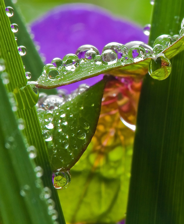 Capturing reflections in dewdrops hanging from fresh clover in my back yard garden.