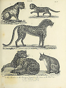 1. The Panther 2. The Hunting Leopard, 3. The Ounce 4. The Wild Cat 5. The American Lynx Copperplate engraving From the Encyclopaedia Londinensis or, Universal dictionary of arts, sciences, and literature; Volume VII;  Edited by Wilkes, John. Published in London in 1810