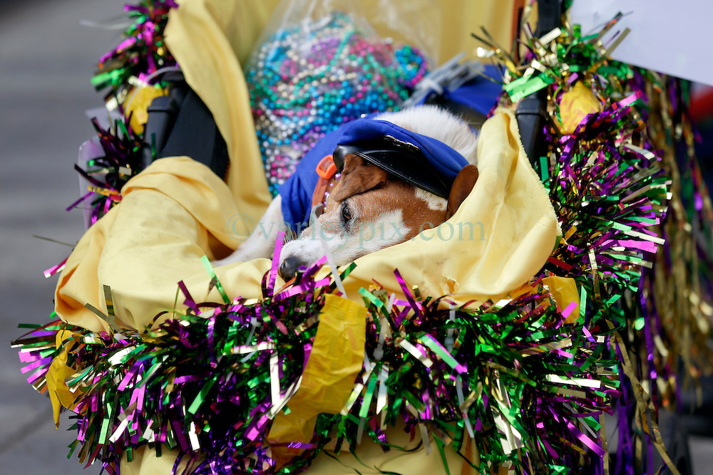31 January 2016. New Orleans, Louisiana.<br /> Mardi Gras Dog Parade. A Jack Russel takes a nap. The Mystic Krewe of Barkus winds its way around the French Quarter with dogs and their owners dressed up for this year's theme, 'From the Doghouse to the Whitehouse.' <br /> Photo©; Charlie Varley/varleypix.com