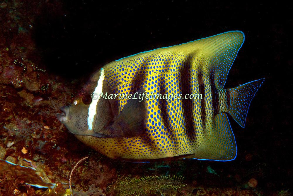 Inhabit reefs. Picture taken Raja Ampat, Indonesia 2012.
