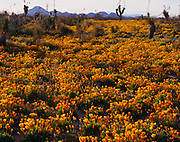 Goldpoppies, Eschscholzia californica, and Soaptree Yucca, Yucca elata, Grandmother Mountain beyond, west of Demming, New Mexico.