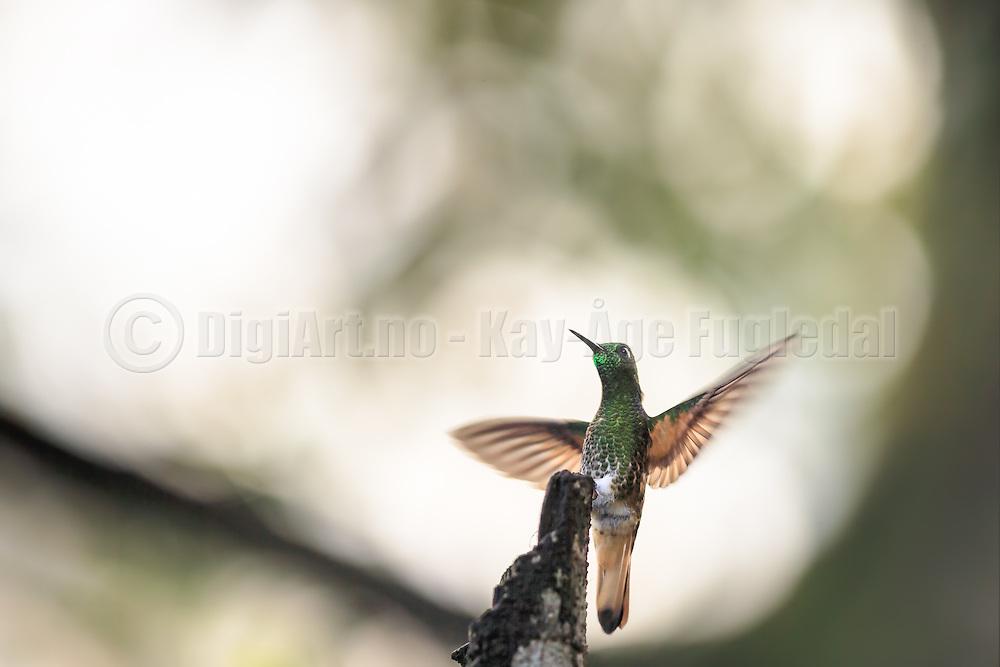 Buff-tailed Coronet hummingbird captured in Cloud Forest, Ecuador | Okerhalekolibri som sitter på en gren og flakser med vingene. Fotografert i Tropisk Regnskog i Ecuador, ca. 2290 moh.