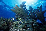 smallmouth grunts, Haemulon chrysargyreum, schooling under elkhorn coral, Acropora palmata, Molasses Reef, Florida Keys National Marine Sanctuary, Key Largo, Florida ( Western Atlantic Ocean )  MR 130