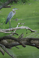 Great Blue Heron hanging out on a downed tree branch along Cayuga Lake in Ithaca, NY.