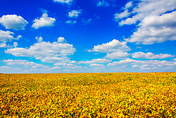 Taken in New Melle Missouri, This Vibrant Golden Summer Farm Field Shines Under Bright Blue Skies and Puffy White Clouds