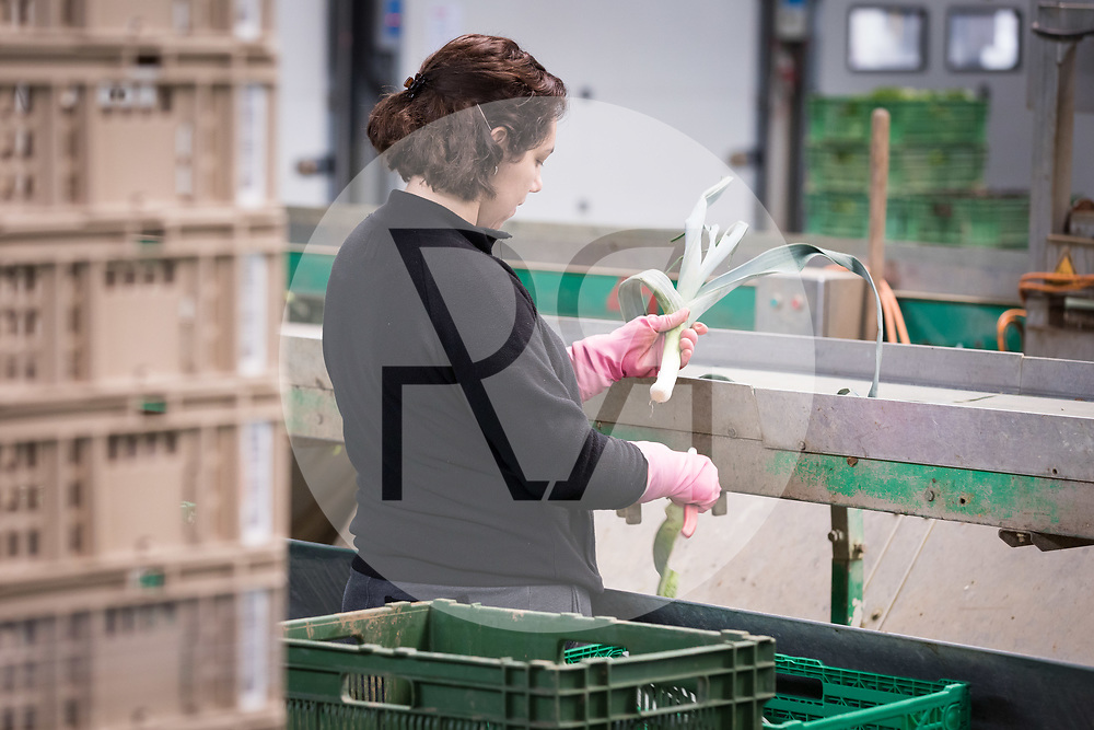 SCHWEIZ - NIEDERBIPP - Eine Mitarbeiterin rüstet Lauch an einem Fliessband bei Bösiger Gemüsenkulturen AG - 21. Juni 2019 © Raphael Hünerfauth - http://huenerfauth.ch