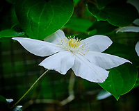 White Clematis Flowers. Image taken with a Fuji X-H1 camera and 80 mm f/2.8 macro OIS lens. Image taken with a Fuji X-H1 camera and 80 mm f/2.8 macro OIS lens.