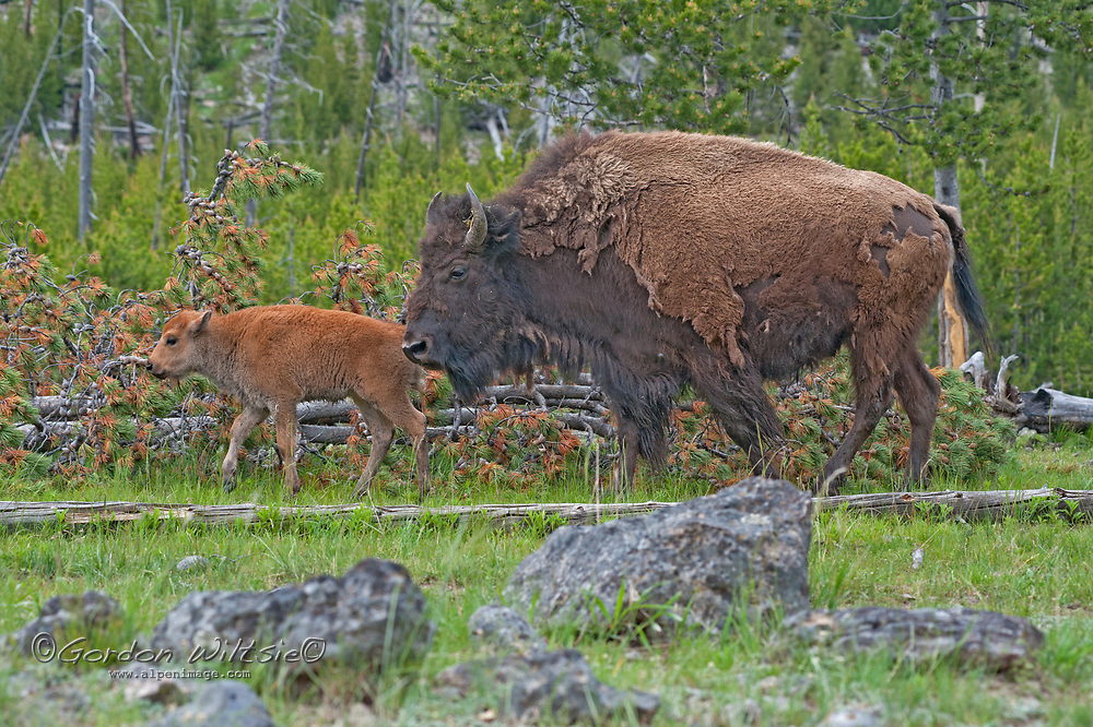 An American Bison (Bison bison) cow and calf walk through a Lodgepole Pine Grove in Yellowstone National Park, Wyoming.