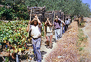 A series of images about port wine production in Portugal c 1960 - men carrying baskets of harvested grapes