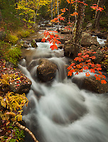 Blazing red maple leaves grace the colorful autumn forest along Jordan Stream in Acadia National Park, Maine