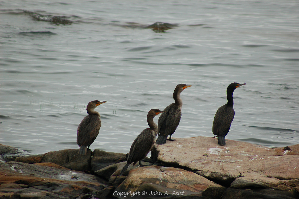 A small group of cormorants looking out onto Long Island Sound from one of the Thimble Islands at Stone Creek, CT