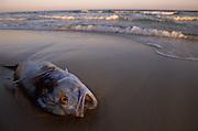 Jack Crevalle washed up on beach - Alabama