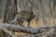 Africa wild cat (Felis lybica) semi-domesticated<br /> Makalali Private Reserve<br /> Limpopo Province<br /> SOUTH AFRICA<br /> RANGE: Absent from deserts & tropical forests but found throughout Africa