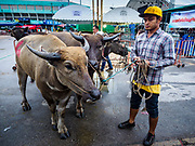 04 OCTOBER 2017 - CHONBURI, CHONBURI, THAILAND: Racers take their water buffalo to the paddock area. Contestants race water buffalo about 100 meters down a muddy straight away. The buffalo races in Chonburi first took place in 1912 for Thai King Rama VI. Now the races have evolved into a festival that marks the end of Buddhist Lent and is held on the first full moon of the 11th lunar month (either October or November). Thousands of people come to Chonburi, about 90 minutes from Bangkok, for the races and carnival midway.   PHOTO BY JACK KURTZ