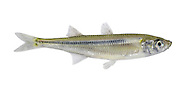 Sand Smelt Atherina presbyter Length to 15cm<br /> Slender, silvery-looking fish. Swims in shoals, often in inshore waters in summer months. Adult is yellowish-green above, pale below with silver scales along flanks. Has 2 dorsal fins, sited above pelvic and anal fins respectively. Local and seasonal, mainly in S and SW.