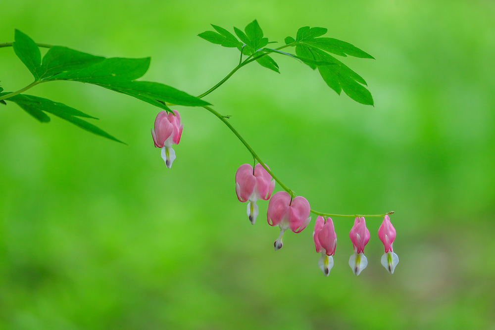 Macro flower fine art photography artwork of beautiful pink Bleeding Hearts in full bloom. <br /> <br /> Pink Bleeding Heart flower photography are available as museum quality photography prints, canvas prints, acrylic prints or metal prints. Flower fine art prints may be framed and matted to the individual liking and interior design decorating project needs at <br /> <br /> https://juergen-roth.pixels.com/featured/pink-bleeding-hearts-in-floral-bloom-juergen-roth.html<br /> <br /> All iris flower photos are available for digital and print image licensing at www.RothGalleries.com. Please contact me direct with any questions or request. <br /> <br /> Good light and happy photo making!<br /> <br /> My best,<br /> <br /> Juergen