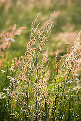 Grasses and sorrel in the meadow