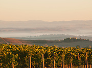 Grapes growing in a vineyard, near Montalcino seen at first light in Tuscany, Italy