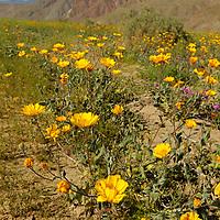 USA, California, San Diego County. Desert Wildflowers of Anza-Borrego.