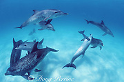 Atlantic spotted dolphins, Stenella frontalis, jousting and socializing, White Sand Ridge, Little Bahama Bank, Bahamas ( Western North Atlantic Ocean )