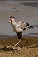 Secretary Bird, Serengeti National Park, Tanzania