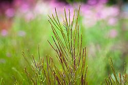 Hesperis matronalis seed pods. Sweet rocket