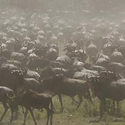 Wildebeest (Connochaetes taurinus) During migration near calving area in Serengeti National Park. Tanzania. Africa. February.