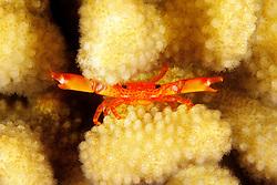 common guard crab or defender crab, Trapezia intermedia, in cauliflower coral, Pocillopora meandrina, Kona, Big Island, Hawaii, Pacific Ocean