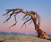 Jeffrey Pine and Moon, Yosemite National Park, California