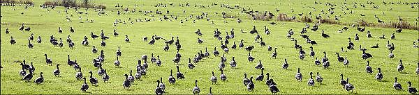 Nederland, Ubbergen, 22-10-2013Wilde grauwe ganzen in de Ooijpolder. Elk jaar overwinteren tienduizenden ganzen in de Gelderse Poort en de uiterwaarden langs de rivier de Waal. Zij voeden zich met gras, vaak tot ergernis van boeren, veehouders die hun vee in de lente en zomer buiten willen laten grazen. Foto: Flip Franssen/Hollandse Hoogte