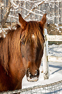 Portrait of a lone horse with no name, or name unknown, on a sunny December morning, a day or so after first winter snow in Dane County, Wisconsin. Chestnut beauty with a high star marking.