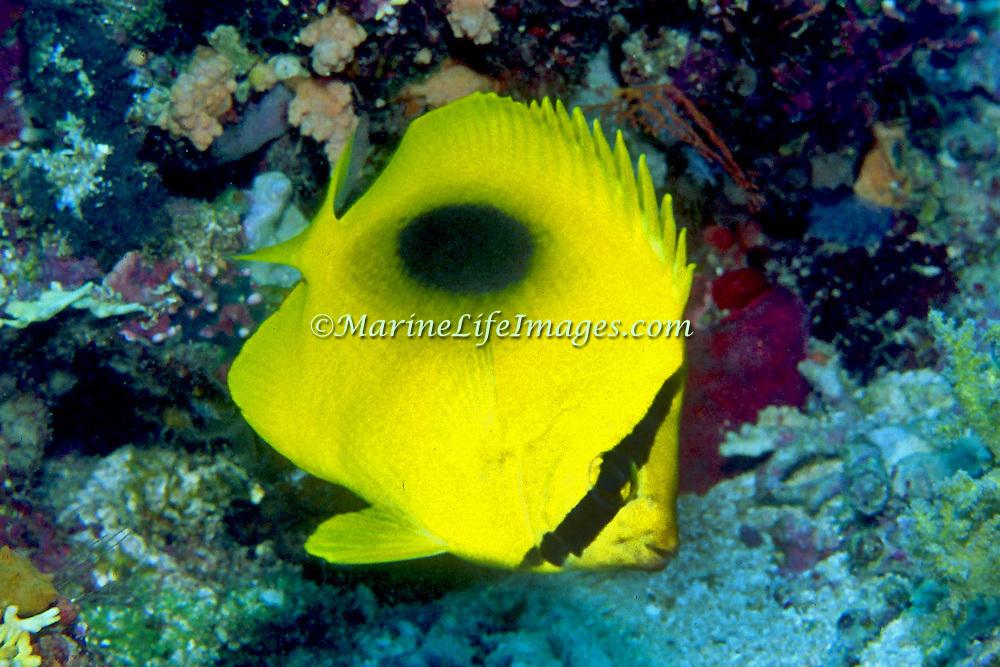 Ovalspot Butterflyfish inhabit reefs. Picture taken PNG.