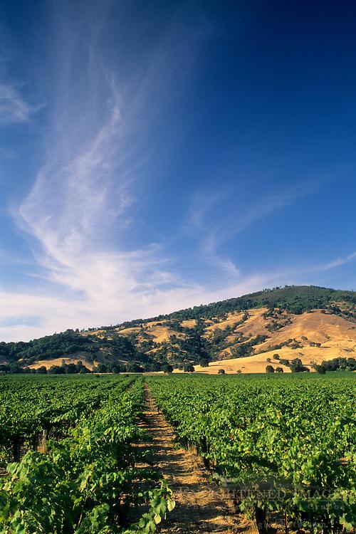 Cirrus cloud over Wine grape vines, Redwood Valley, Mendocino County, California
