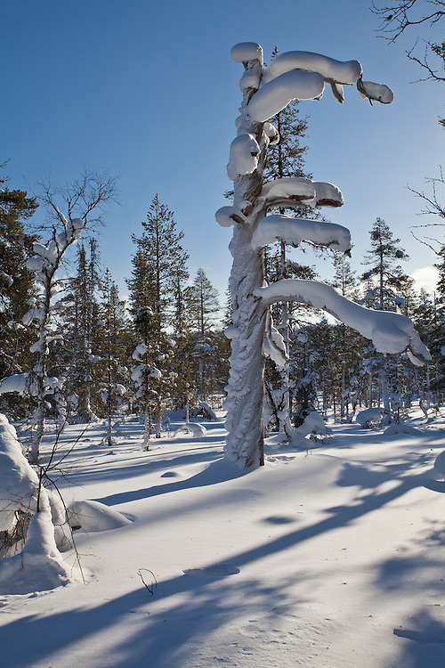 Kelo-wood in Lapland, Finland. Kelo-wood is a snag, a standing dead tree, usually pine. Kelo-wood is popular material for lodges.