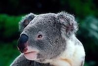 Koala, Lone Pine Koala Sanctuary, Brisbane, Queensland, Australia