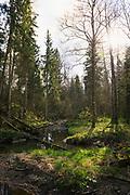 "Sun shines over small rocky river Vidvide and forests around it in spring, Nature reserve ""Ruņupes ieleja"", Latvia Ⓒ Davis Ulands   davisulands.com"