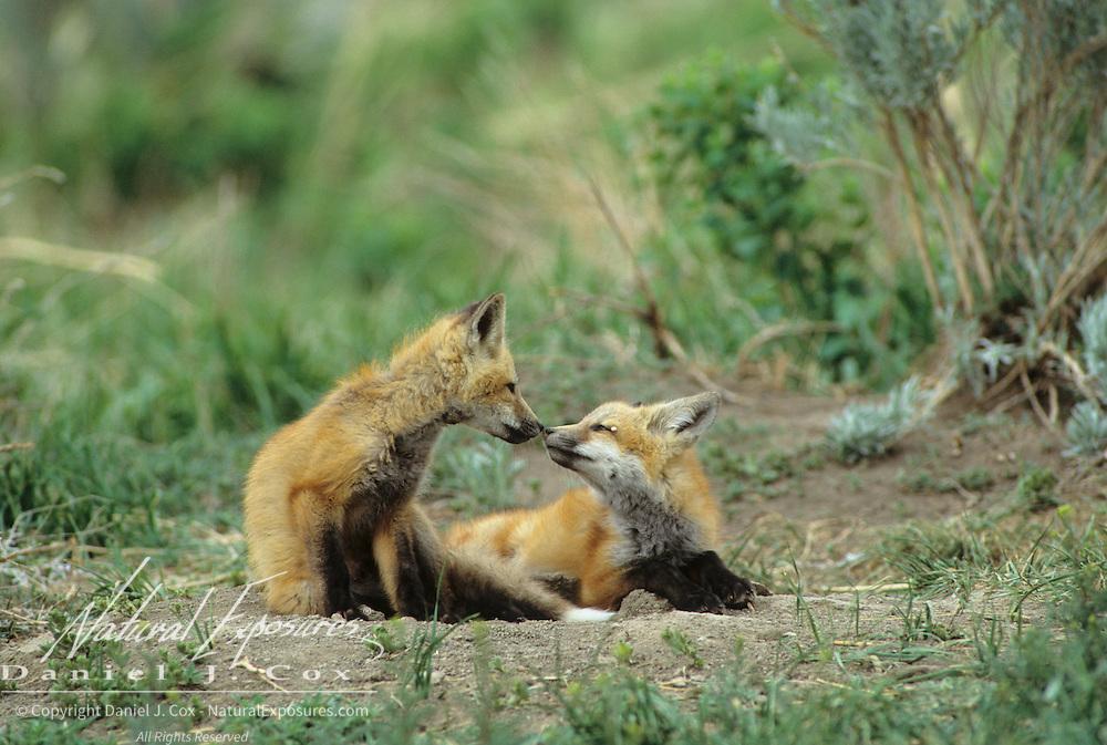 Red Fox (Vulpus fulva) near their den during the springtime.