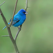"""Indigo buntings, sometimes called """"blue canaries,"""" color midwestern woods with their brilliant feathers beginning in late spring. Male bunting (Passerina cyanea) perched on branch in natural wooded setting at Blendon Woods Metro Park in Columbus, Ohio. Image featured in McConnell Arts Center's 2018 Metro Parks at the MAC exhibit."""
