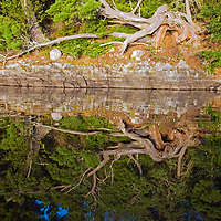 A twisted, fallen white pine survives on an island in Lake of the Woods,  Ontario, Canada.