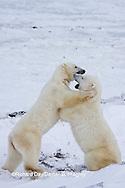 01874-11413 Polar Bears (Ursus maritimus) sparring, Churchill Wildlife Management Area MB