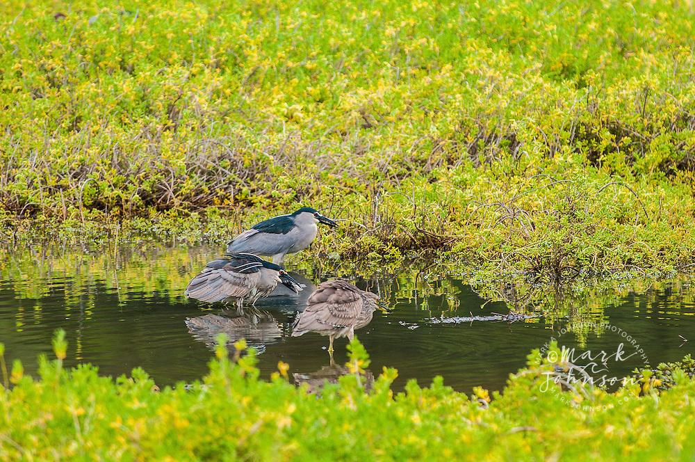 Heron ('Auku'u) fishing, Hamakua Marsh Bird Refuge, Kailua, Oahu, Hawaii