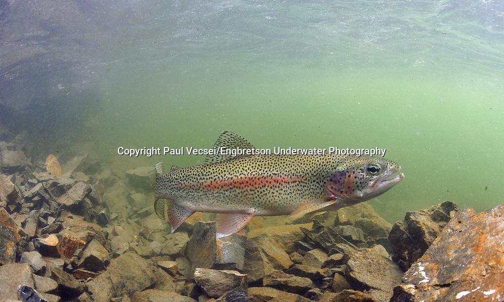 Rainbow Trout<br /> <br /> PAUL VECSEI/ENGBRETSON UNDERWATER PHOTO